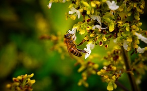 Wallpaper flower, macro, nectar, bee, bee, collects
