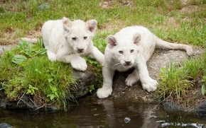 Picture cat, grass, kittens, the cubs, white lions, pond, lion