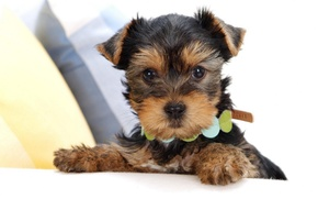 Picture face, puppy, collar, Yorkshire Terrier
