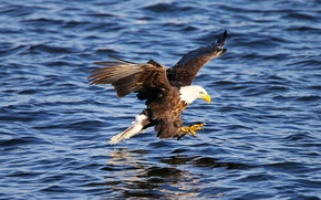 Picture water, flight, bird, wings, claws, Animals, American eagle