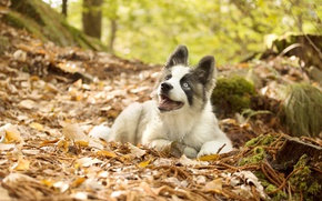 Wallpaper leaves, autumn, puppy, The Yakutian Laika, dog