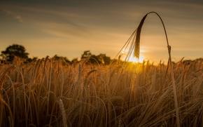 Picture wheat, field, sunset, ear, ears