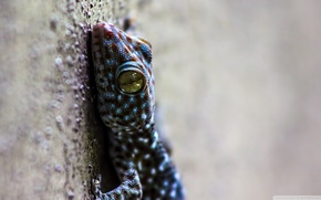 Picture nature, background, lizard, Animals, reptile