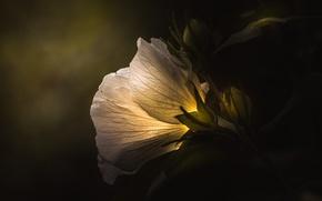 Wallpaper flower, light, background, dark green