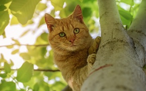 Picture cat, look, tree, on the tree, red cat