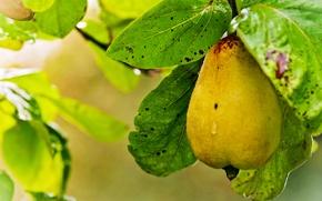 Picture foliage, branch, pear, yellow, ripe