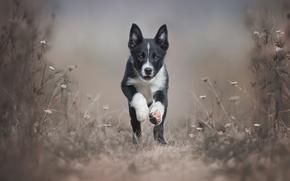 Picture dog, dog, puppy, runs, breed, Border Collie