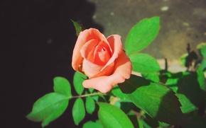 Picture rose, macro, orange, soft