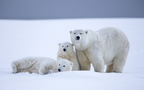 Picture winter, snow, bears, Alaska, bears, polar bears, bear, cubs