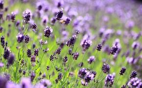 Picture flowers, macro, purple, lilac, lavender, glade, blur, field, Lavender