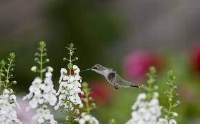 Wallpaper flowers, nectar, bird, Hummingbird, white, snapdragons