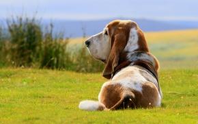 Picture dog, dog, The Basset hound