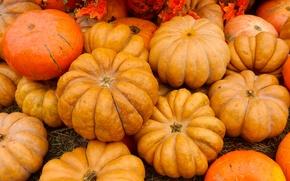 Picture autumn, widescreen, Wallpaper, pumpkin, pumpkin, exhibition, wallpaper, background, the Wallpapers, full screen, HD wallpapers, widescreen, …