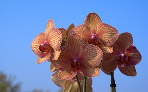 Picture the sky, nature, petals, Orchid