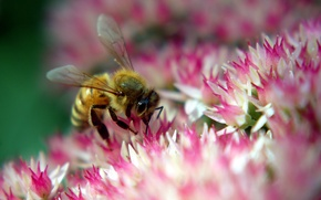Wallpaper bee, flower, pink