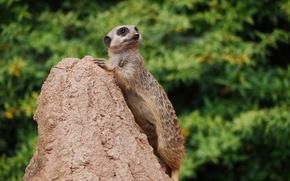 Picture look, hill, meerkat