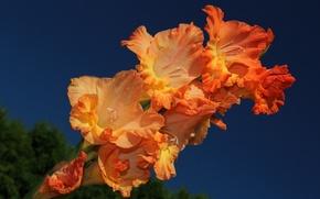 Picture macro, gladiolus, gladiolus