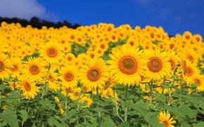 Wallpaper flowers, sunflower, petals, field, the sky, leaves