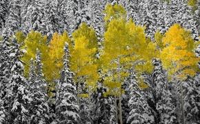 Picture autumn, forest, leaves, snow, spruce, Colorado, USA, aspen, Aspen, mountains San Juan