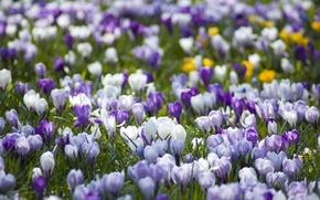 Wallpaper nature, crocuses, spring, primrose, lilac, white, glade