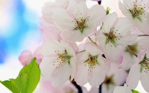 Picture flowers, cherry, flowering