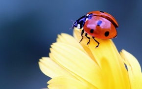 Picture flower, macro, ladybug, beetle, petals, insect