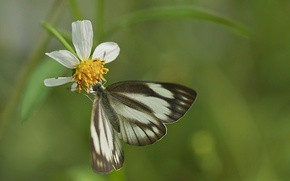 Picture white, flower, background, butterfly, petals