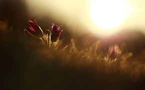 Picture flower, the sun, macro, flowers, red, background, widescreen, Wallpaper, plant, wallpaper, flowers, widescreen, background, full …