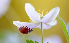Picture white, flower, macro, Ladybug