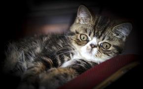 Picture look, exotic, Exotic cat