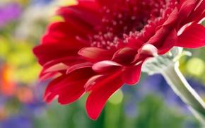 Picture flower, macro, rose, rose, flower, Close Up, beautiful red daisy gerbera, beautiful red gerbera Daisy