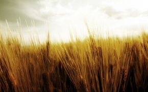 Wallpaper the harvest, nature, spikelets, wheat, harvest, field, the sky, ears