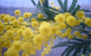 Picture spring, March 8, Mimosa, women's day