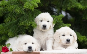 Picture spruce branches, Trinity, puppies, dogs, trio, flower, rose