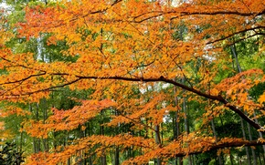 Picture autumn, forest, leaves, trees, the crimson