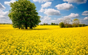 Picture field, the sky, clouds, flowers, tree, meadow, chestnut