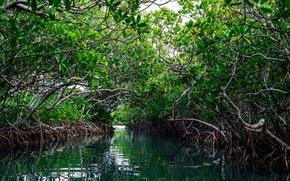 Picture sea, water, thickets, island, USA, USA, sea, ocean, water, island, Mangrove, Mangroves, Mangroves, Puerto Rico, ...