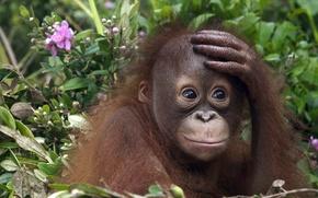Wallpaper monkey, cub, orangutan
