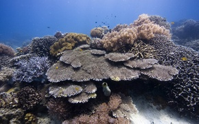 Picture underwater, sea, ocean, diving, tropical, coral, coralsea