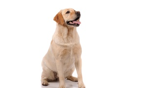 Picture Dog, Look, Animals, Retriever