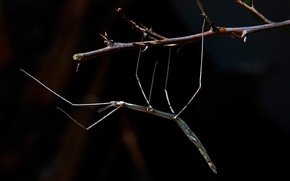 Picture branch, insect, phyllium