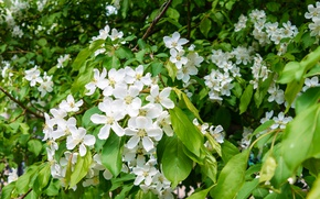 Picture spring, Apple tree in bloom, Apple orchard