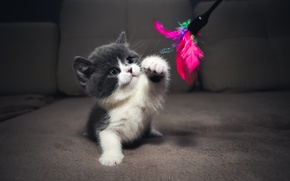 Picture blue, focus, Kitty, plays, kitten, the time, British, bicolor, cattery, Embery