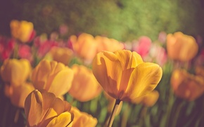 Picture flowers, nature, spring, petals, tulips, bokeh