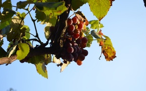 Picture the sky, grapes, blue background
