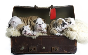 Picture dogs, puppies, suitcase, kids, English bulldog