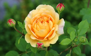 Picture yellow, rose, petals, buds