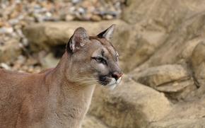 Picture face, predator, profile, Puma, wild cat, mountain lion, Cougar