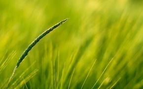 Picture greens, field, ear