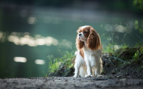 Picture dog, Spaniel, The cavalier king Charles Spaniel